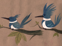 Belted Kingfisher Sketches