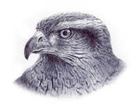 Red Tail Hawk Sketch
