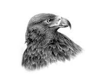 Golden Eagle Sketch