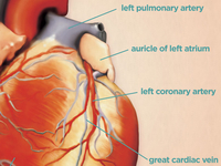 Heart_anatomy_teaser