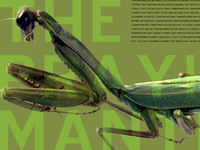 Praying Mantis Desktop