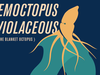 Tremoctopus violaceous - a work in progress