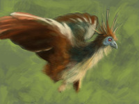 Hoatzin Study (1st color pass)