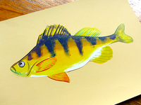 Yellow-perch_teaser